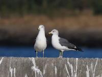 堰堤の上のウミネコ - コーヒー党の野鳥と自然パート3