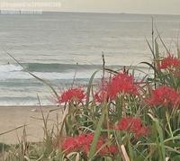 彼岸花 - surftrippper サーフィンという名の旅