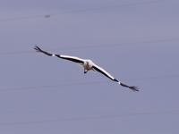 コウノトリのダイナミックな飛翔姿!♪ - 『私のデジタル写真眼』