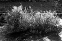 川の中の草むら - 散歩と写真