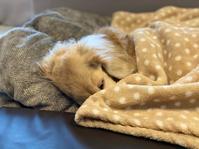 20年11月25日さくらちゃん、ハイシニアらしいね(笑) - 旅行犬 さくら 桃子 あんず 日記