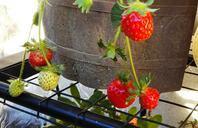 青いイチゴと達君 - 癒しの文鳥とメダカと私とお庭