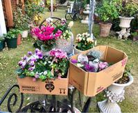 シクラメン&葉牡丹狩り〜\(//∇//)\と葉牡丹の寄せ植え作りました♡ - 薪割りマコのバラの庭