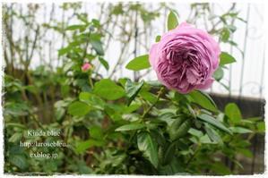'カインダブルー'の秋薔薇が咲き始めました - La rose 薔薇の庭