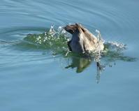 大塩湖でおもに潜り込み - 星の小父さまフォトつづり
