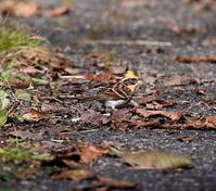 ミヤマホオジロ - 打出頑爺の鳥探し