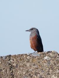イソヒヨドリ - コーヒー党の野鳥と自然パート3
