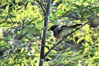 竹林と紅葉越しのカケスさん - 鳥と共に日々是好日②