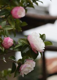 山茶花の垣根 - ミセス サファイア 静けさの中で