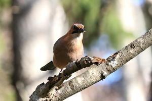 ミヤマカケス - 今日の鳥さんⅡ