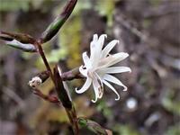 キッコウハグマの開放花 - 里山の四季