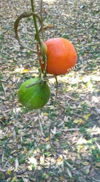 カラスウリ - hibariの巣
