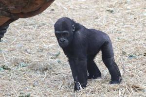 じゃれあうゴリラ姉弟「モモカ&リキ」(上野動物園) - 続々・動物園ありマス。