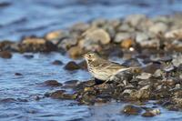 大河でタヒバリ - 『彩の国ピンボケ野鳥写真館』