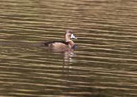 クビワキンクロー再訪 - 写真で綴る野鳥ごよみ