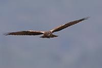 今日も猛禽狙い - 野鳥の視線