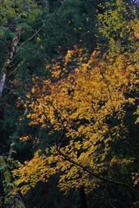 椛と水楢の黄葉 - 「 ボ ♪ ボ ♪ 僕らは釣れない中年団 ♪ 」Ver.1