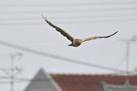 住宅街を背景に絶滅危惧種が飛ぶ - Olive Drab
