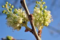 イヌザクラの狂い咲き - 里山の四季