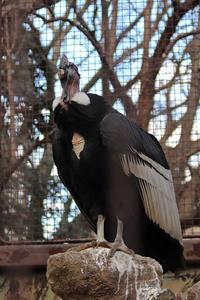 コンドルとクマタカの若鳥~真冬のライチョウと日本の鳥たち(上野動物園) - 続々・動物園ありマス。
