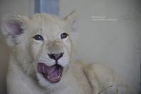 2020.6.8 東北サファリパーク☆ホワイトライオンのいっきゅう君とユズちゃん【White lion baby】 - 青空に浮かぶ月を眺めながら