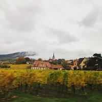 秋のアルザス、リースリングのブドウ畑 - keiko's paris journal                                                        <パリ通信 - KSL>