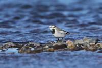 セキレイ3種 - 『彩の国ピンボケ野鳥写真館』