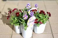 今年のビオラ - my small garden~sugar plum~