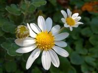 菊をたのしむ… - 侘助つれづれ