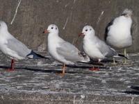 ユリカモメが群れで - コーヒー党の野鳥と自然パート3