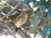 小春日和に憩うジョウビタキ - コーヒー党の野鳥と自然パート3