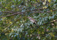 冬鳥の定番 - 季節の映ろひ