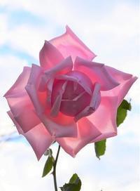 11月のバラの花 - バラとハーブのある暮らし Salon de Roses