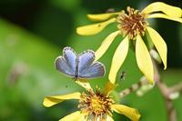 ヤマトシジミ住宅地の蝶 - 蝶のいる風景blog