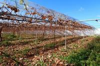 懐かしいブラックビートの味 - ~葡萄と田舎時間~ 西田葡萄園のブログ