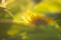 オレンジ色の世界~向日葵~ - 但馬・写真日和