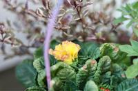 3年目のプリムラ - my small garden~sugar plum~