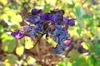 晩秋の紫陽花 - シンプル・ハウスワイフのRANDOM SHOT