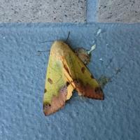 朝イチに美しい蛾に出会ったので・・・ - *la nature*