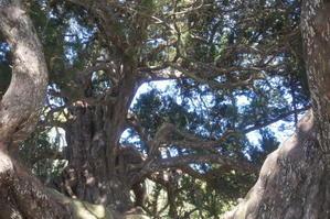 小豆島~樹齢1600年の真柏 -