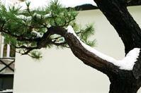 五葉松の雪と雪上の足跡 - 照片画廊