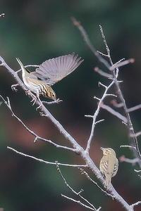 ビンズイの枝渡り - 上州自然散策3