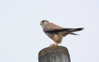 チョウゲンボウの狩 Common Kestrel - 素人写人 雑草フォト爺のブログ