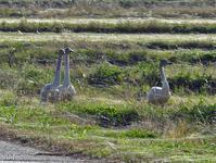 波根湖干拓地に白鳥 - 清治の花便り