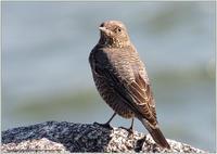 イソヒヨドリは♀にしか会えない - 野鳥の素顔 <野鳥と日々の出来事>