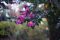 山茶花を、、 - summicron
