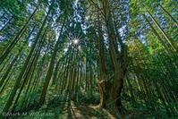 祇園の大ヒノキ - Mark.M.Watanabeの熊本撮影紀行