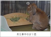 朝の彩雲と考え事するまり君 - Living with rabbit