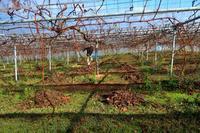 葡萄園の落ち葉集め - ~葡萄と田舎時間~ 西田葡萄園のブログ