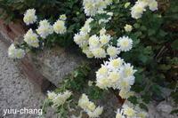 道端の菊 - 下手糞でも楽しめりゃいいじゃんPHOTO BLOG